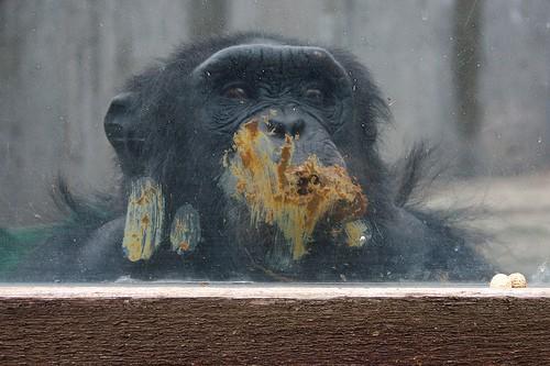 chimpance que vive en el zoo