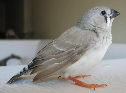 aves machos