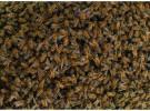 Investigan la muerte de abejas españolas por un microchip