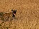 Las hienas cuentan enemigos