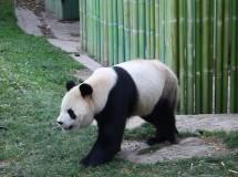 Bioscombustible con heces de oso panda