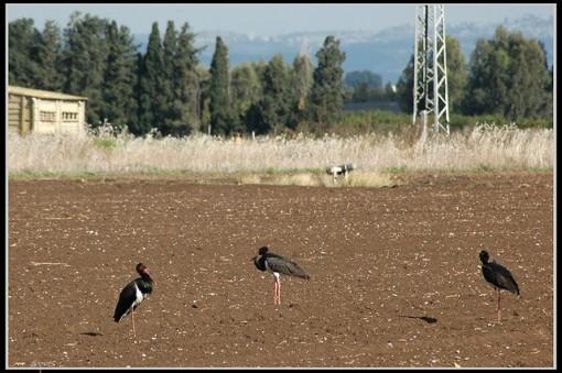 La cigüeña negra, una especie que sigue en peligro de extinción