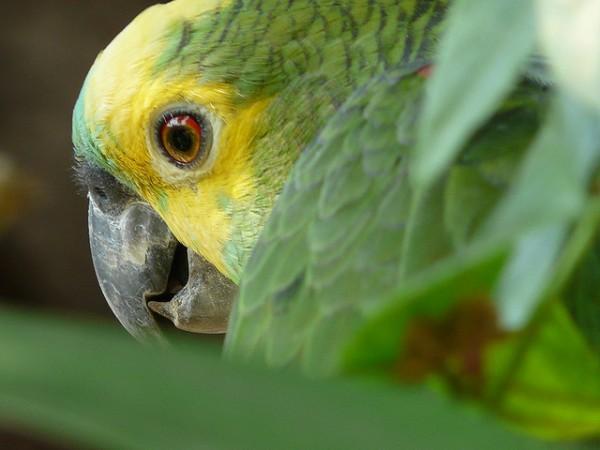 El amazona aestiva es un loro de origen sudamericano