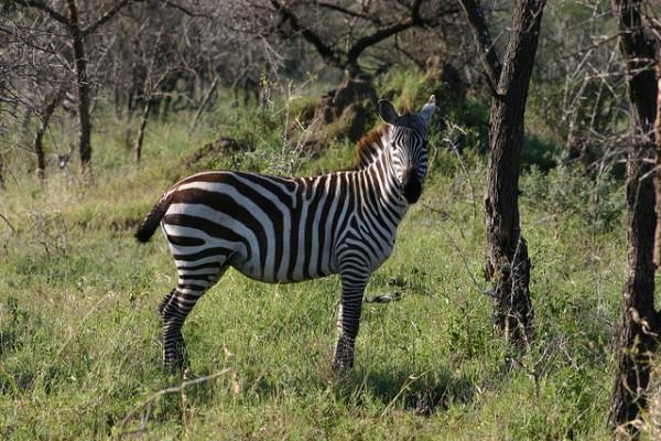 Una carretera terminaría con las migraciones entre Serengueti y Masai Mara
