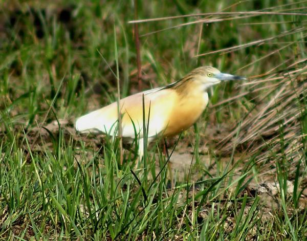 Las garcillas cangrejeras son aves en peligro de desaparición