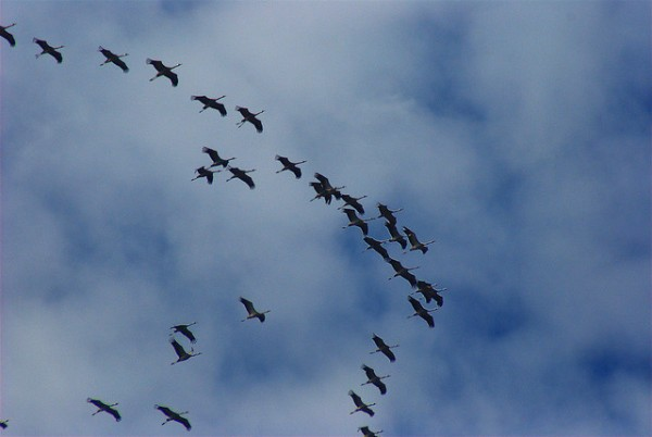 Cada otoño las grullas migran desde los países escandinavos