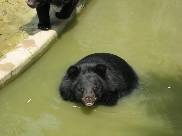 El oso luna es capturado, en China y Vietnam,  para extraerle la bilis