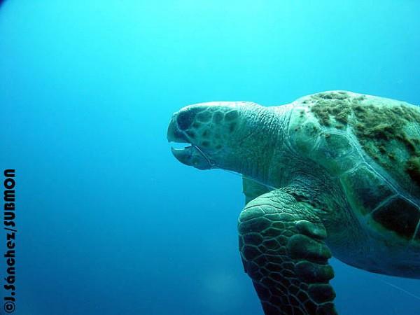 las tortugas son fertiles a partir de los 45