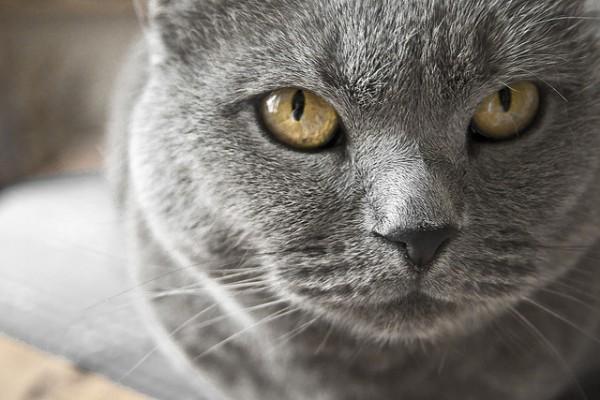 El gato chartreux o cartujo posee un color gris azulado