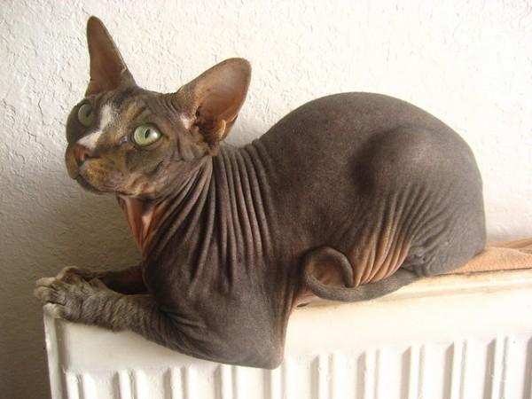 El gato esfinge o sphynx se caracteriza por no tener pelo