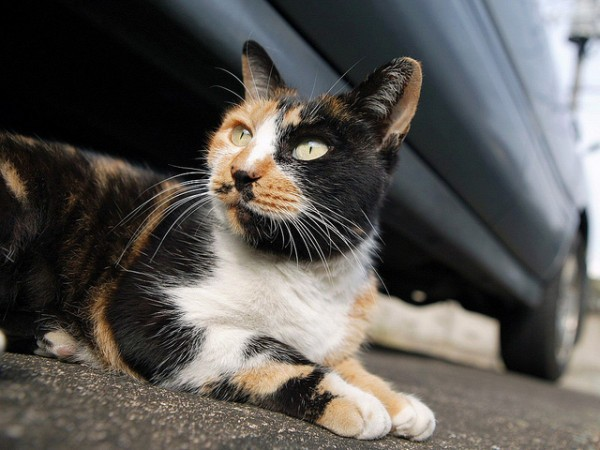 Al gato manx le caracteriza su falta de cola, o el pequeño tamaño de ésta