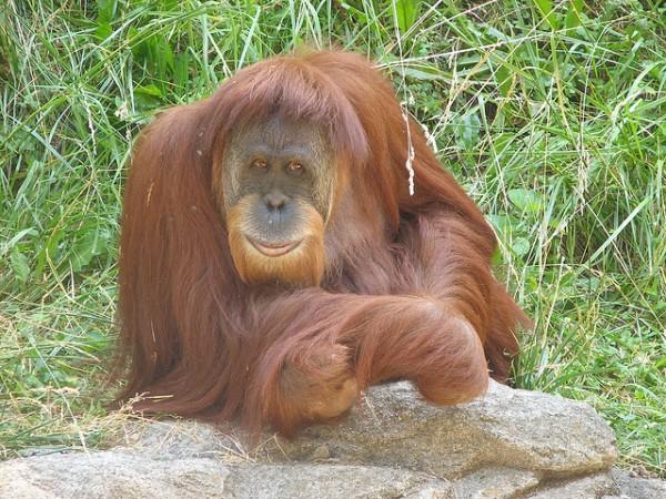 Bioparc Valencia ayuda a evitar la desaparición de los grandes simios