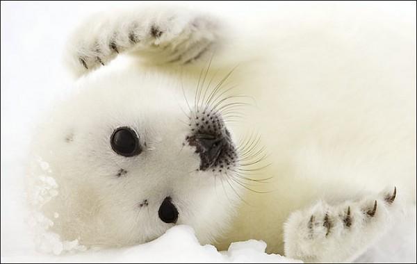 Las focas arpa de Canadá buscan otras áreas con mayor superficie de hielo