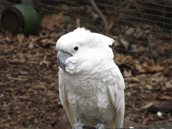 La cacatúa alba es un majestuoso loro blanco, proveniente de Indonesia