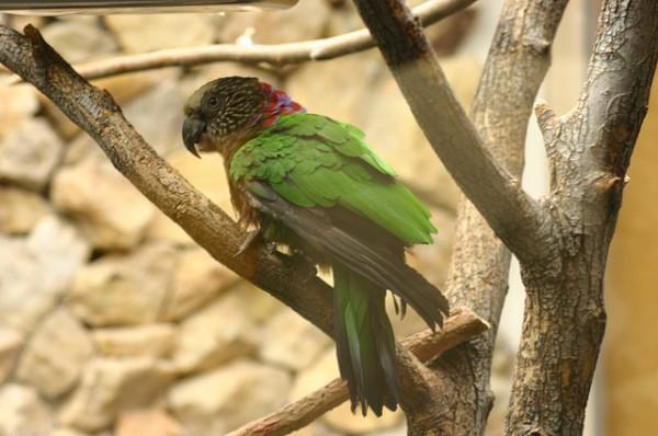 El loro cacique es un ave originaria de la cuenca del Amazonas