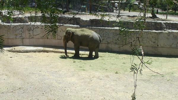 El elefante de Sumatra peligra, debido a la deforestación de su hábitat