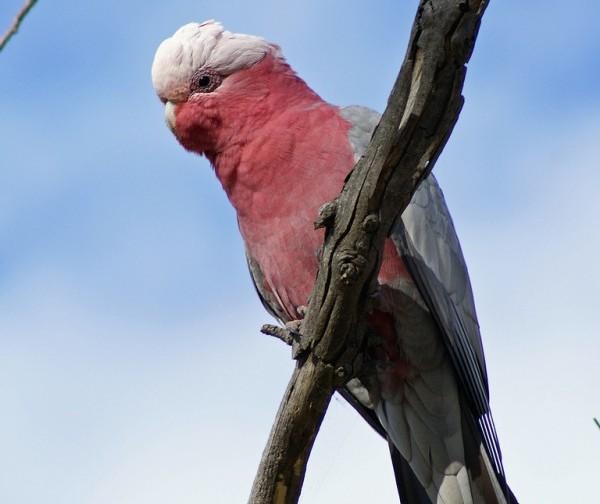 La cacatúa galah se caracteriza por su color rosado