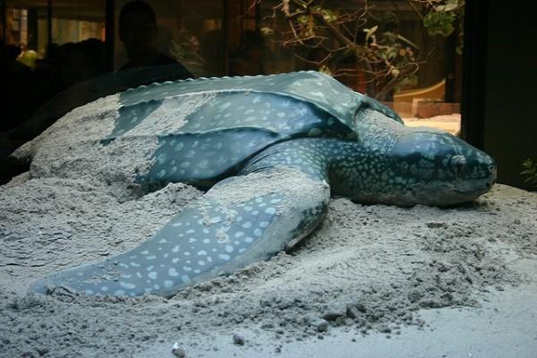 Una tortuga laúd ha quedado varada en las costas almerienses de Adra
