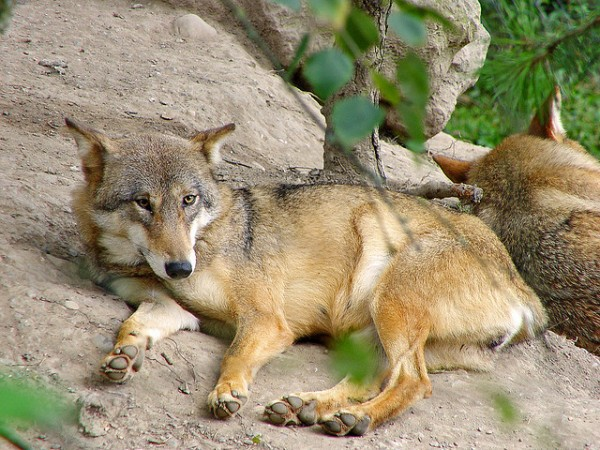 Pacma ha evitado, con su denuncia ante el Seprona, la exposición de un lobo en un escaparate