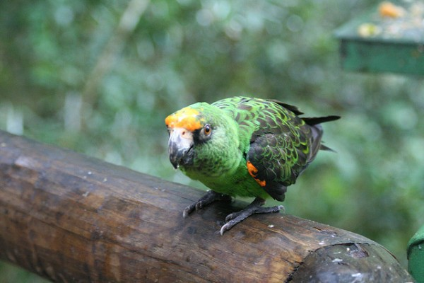 El loro jardinero (Poicephalus senegalus) es un ave de origen africano
