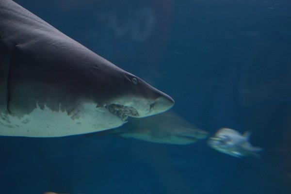 El gobierno español ha decidido proteger once especies de tiburones del Mediterráneo