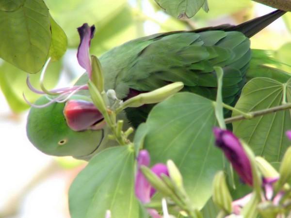 Las cotorras alejandrinas son loros verdes originarios de ciertos países asiáticos