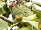 Amazona leucocephala