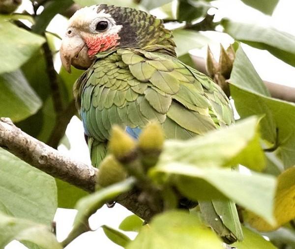 El Amazona leucocephala es originario de Cuba