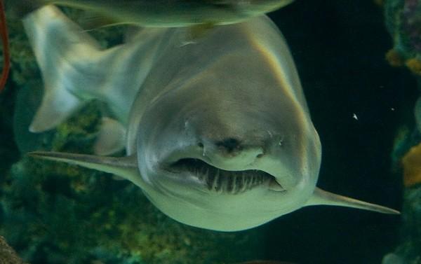 Una hotelera asiática ha decidido prescindir de las aletas de tiburón en sus menús