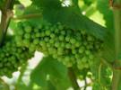 Un insecto que bebe Chardonnay, Cabernet y Sauvignon