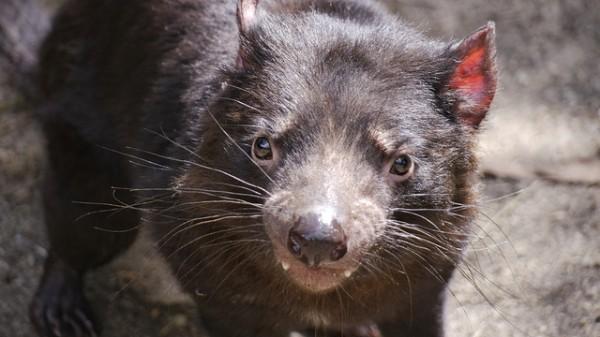 Nueva esperanza para el demonio de Tasmania