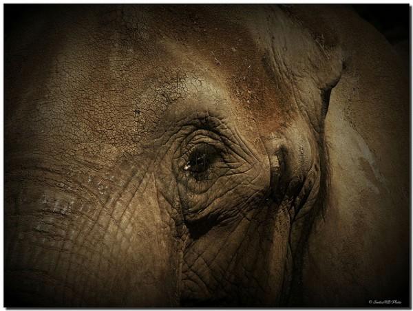 muerte de elefantes