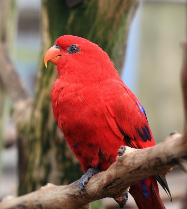 El lori rojo o Eos bornea es un ave originaria de Indonesia