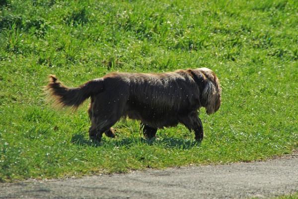 El perro alano español y otras razas corren grave peligro de desaparición