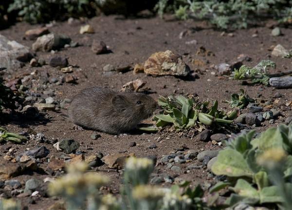 Una nueva plaga de topillos amenaza la meseta castellana y los ecologistas critican las medidas adoptadas