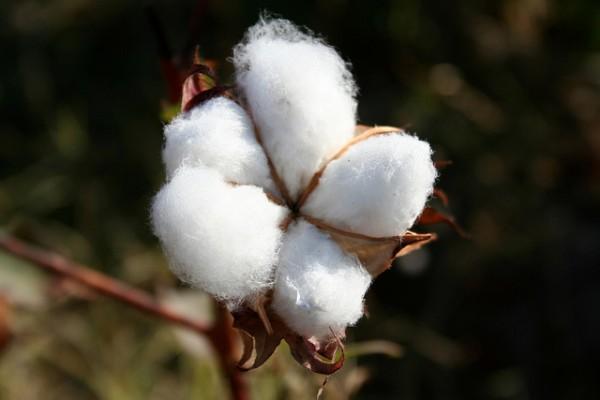 Una farmacéutica ha solicitado cultivar algodón transgénico en España