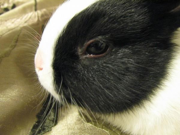 Til, el conejo nacido sin orejas en Alemania, acaba de fallecer como consecuencia de un pisotón