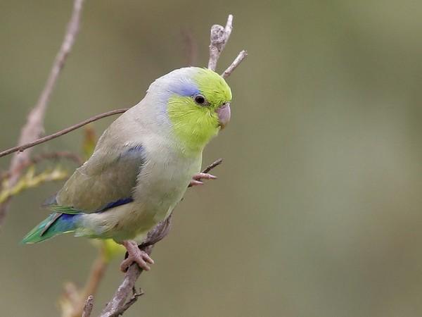 La cotorrita celestial o Forpus coelestis es un pequeño loro de Ecuador y Perú