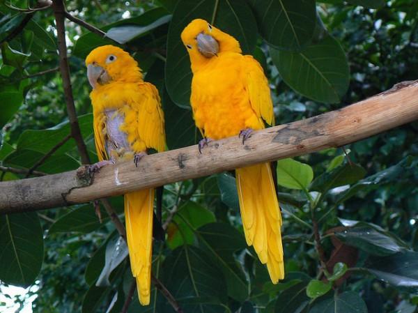 La aratinga guaruba (Guaruba guarouba) es un loro originario de Brasil