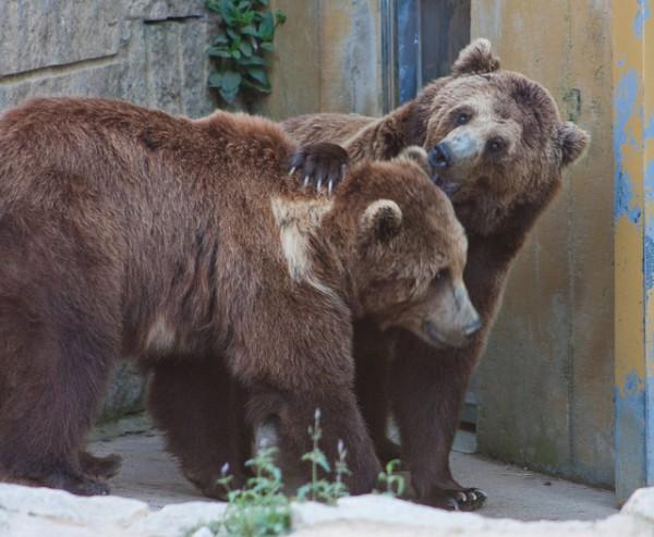 osos pardos