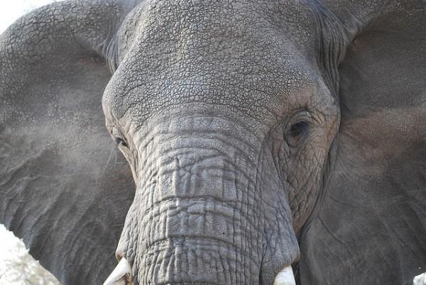 Las cacerías de elefantes en Botswana siguen atrayendo a centenares de cazadores de todo el mundo