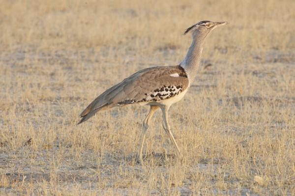 La avutarda es una de las mayores aves del planeta. Las líneas eléctricas son una amenaza para la especie