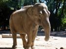Antes se ingería carne de elefantes