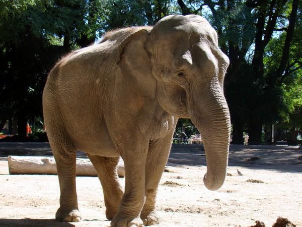 carne de elefante como alimento