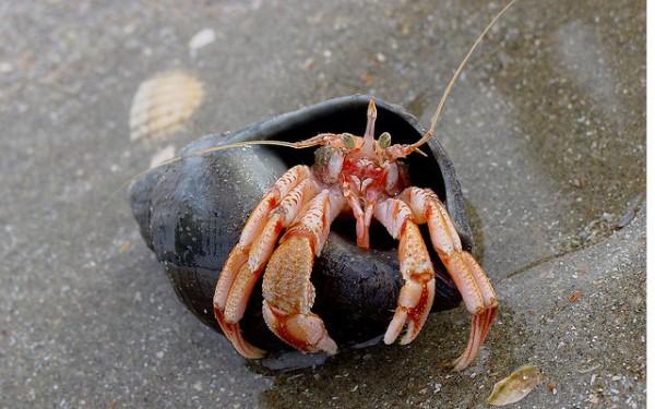 Harry es un cangrejo ermitaño que prefiere las piezas de lego, antes que las conchas de otros animales