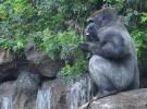 El Parque de Cabárceno tiene un bonito bebé gorila