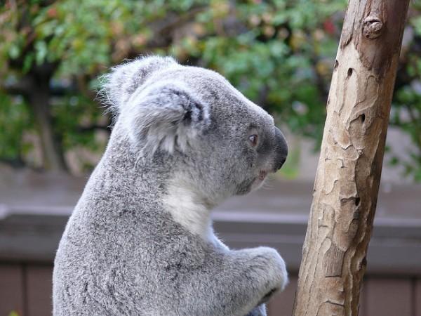 vacunas para koalas
