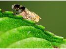 Moscas que detecta enfermedades