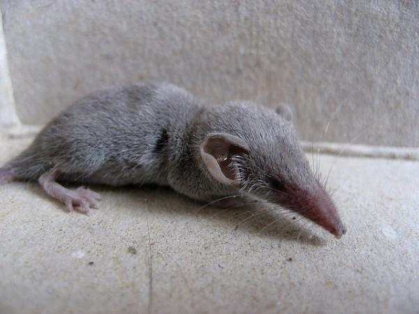 La musaraña es un mamífero diminuto, presente en gran parte de la Península Ibérica