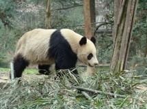 Despertar la pasión en los osos panda